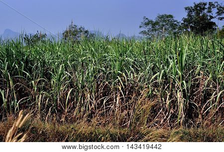 Saraburi Thailand - January 8 2013: A field of green sugar cane a major commercial crop growing on a Thai farm