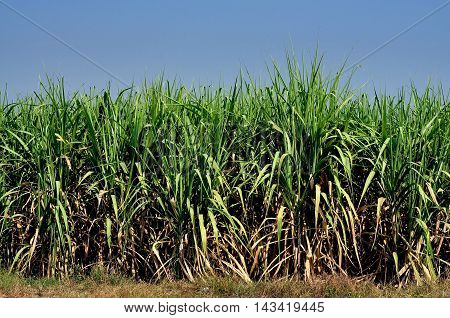 Saraburi Thailand - January 8 2013: A field of sugar cane a major commercial crop growing on a Thai farm