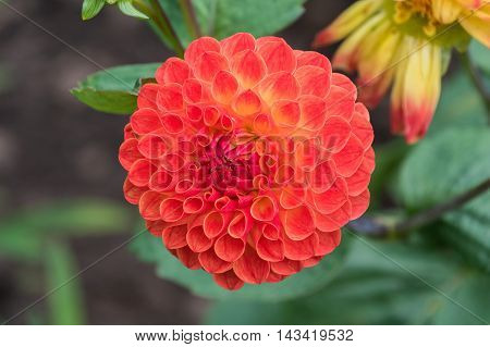 Orange Pompom Dhalia bloom fully open on the plant
