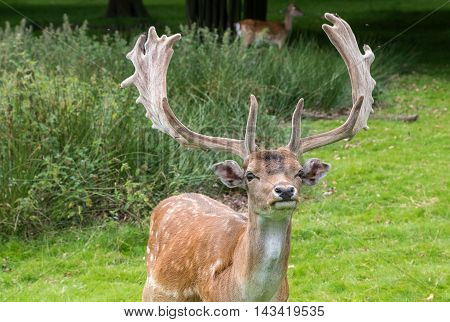 Male Fallow Deer looking around in a park
