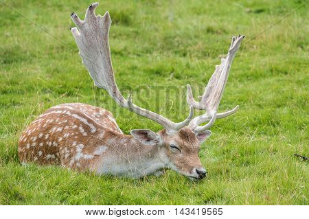 Male Fallow Deer sleeping with his head on grass