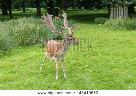 Male Fallow Deer standing on grass in a park