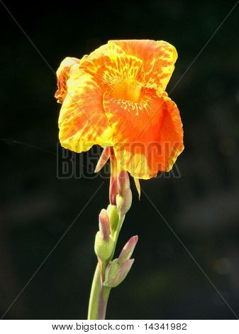 Thai canalside flower