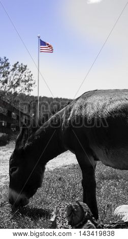Donkey eating in front of an American flag with isolated red white and blue color - concept for democratic politics and national convention