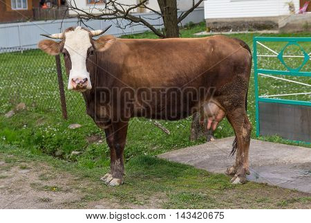 Brown cow costs near a farmhouse. Animals