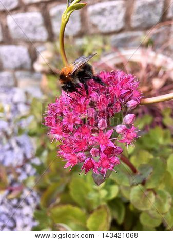 Bumblebee on a beautiful pink flower in the garden