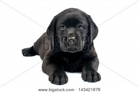 Black Labrador puppies on a white background