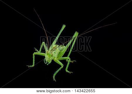 Green grasshopper isolated on a black background