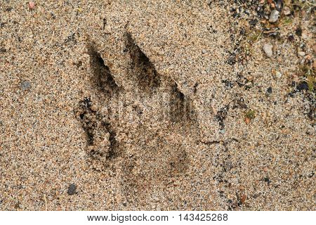 Dog Paw Print in the Beach Sand