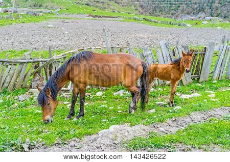 Two horses - mare and foal graze next to the old tilted fence Ushguli Upper Svaneti Georgia.