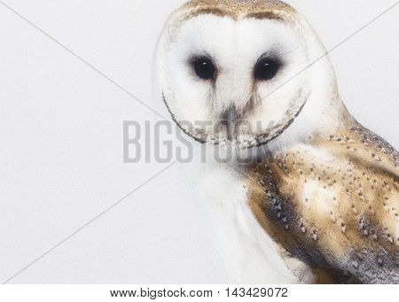 Church owl photographed in the studio on a white background