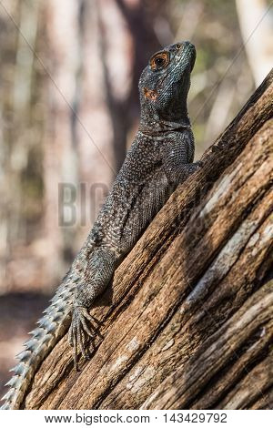 Iguana on the branch's tree in the forest, Madagascar