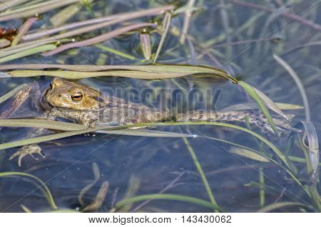 Toad (Bufo bufo) floating on the watertop