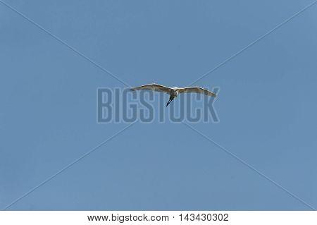 Great Egret (Ardea alba) gliding across blue sky