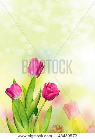 Spring landscape. beautiful spring flowers tulip. card