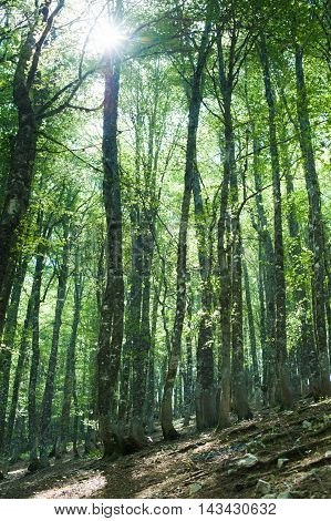 Fascinating Green Color Beech Tree Forest