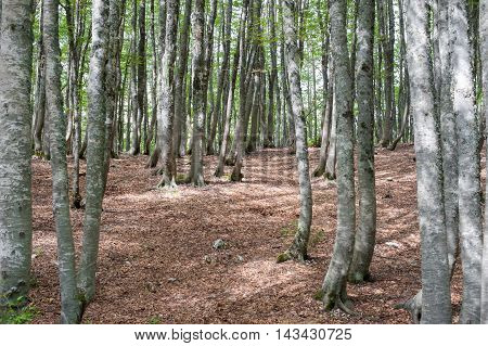 Fascinating Scenic  Beech Tree Forest