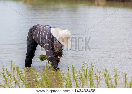 rice seedling transplanting in rural Thailand .