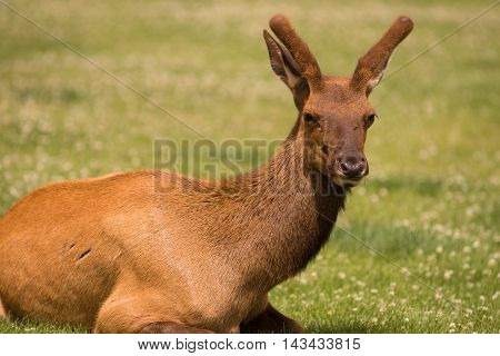 A young male Elk grazes alone in the sunshine in Yellowstone