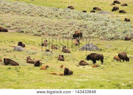 Buffalo Bison Herd Yellowstone National Park Wild Animal