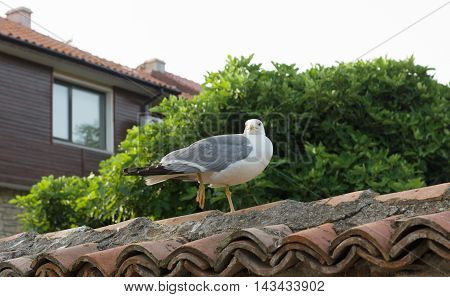 The Large Seagull Walking On The Tiles Fence