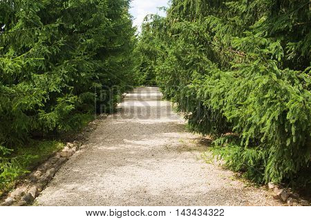 Road In A Summer Park. Spruce Trees