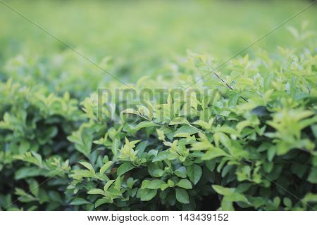 Green Plant, Green Clover Background