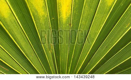 Close up photograph of a backlit fanned palm plant.