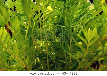 View from under Valerian plant growing in garden.