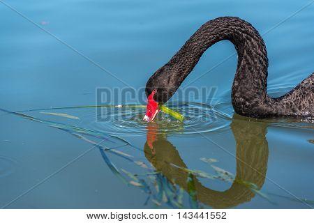 Black Swan Eating Green Weed