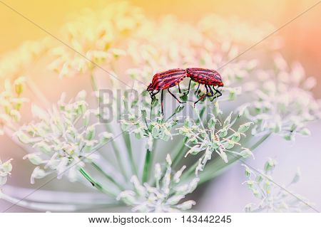 A pair of red shield bugs making love on white flowers against a light blurred background. Selective focus toning.