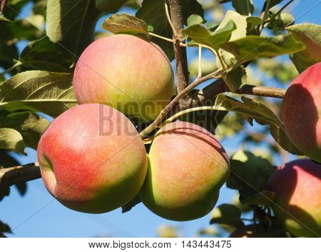 paula red apples in tree, orchard branch