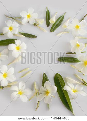 Beautiful white tropical frangipani on white background