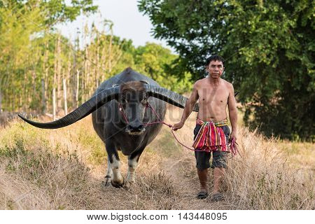 Asian farmer working with his buffalo in rural Thailand