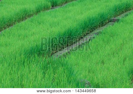 Green Terraced Rice Fields, Mae Klang Luang, Thailand.