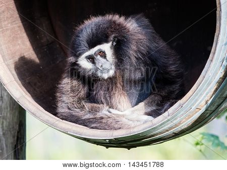 White Handed Gibbon Sitting In A Barrel