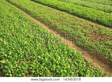 green spinach and choysum crops in growth at garden