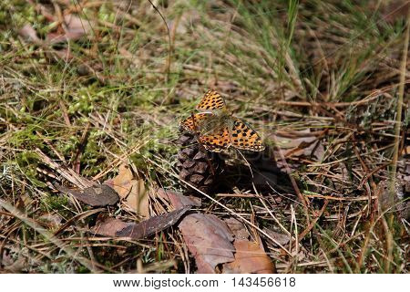 Butterfly sitting on a pinecone in the forest