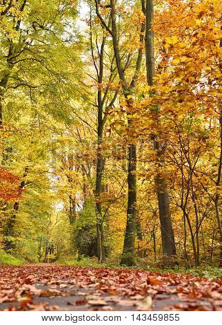 Idyllic autumn forest scene with footpath and multicolored autumn leaves, colored trees and bright sunlight.