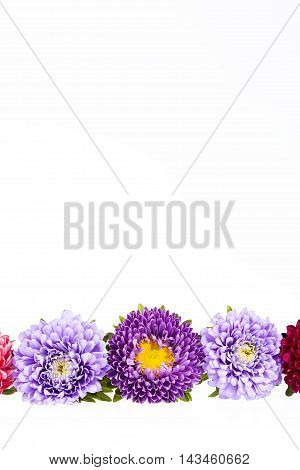 Colorful aster flowers isolated on white background place for text