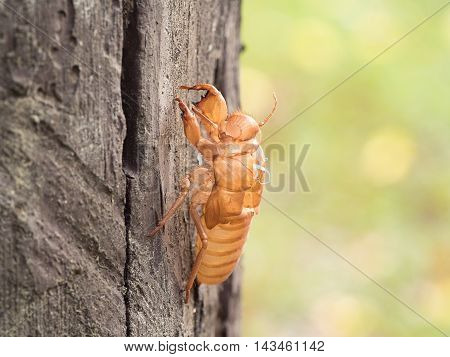 Insect molting cicada on tree in nature. Cicada metamorphosis (Latin Cicadidae) grow up to adult insect. (selective focus)