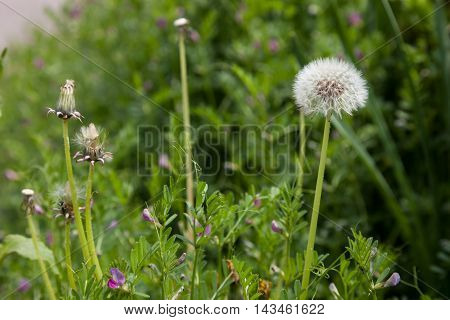 Dandelion flower., Dandelion flower in spring time