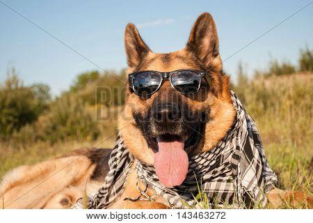 german shepherd dog wears sunglasses and neckerchief