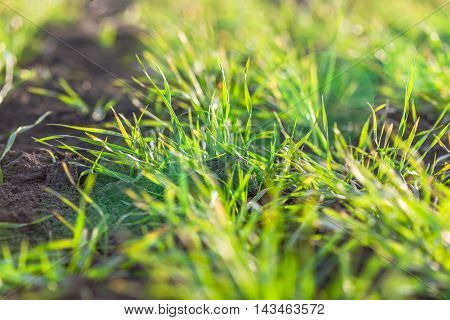 fresh green grass and soil on background