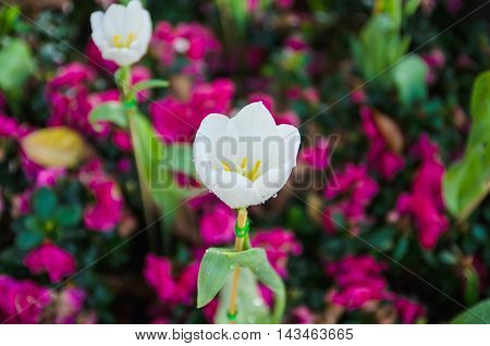 White tulips flower with pink blur background