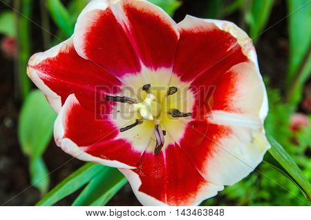 closeup bloom red tulips flower natural background