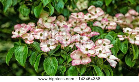 Many Kousa Dogwoods Blooming in green Trees