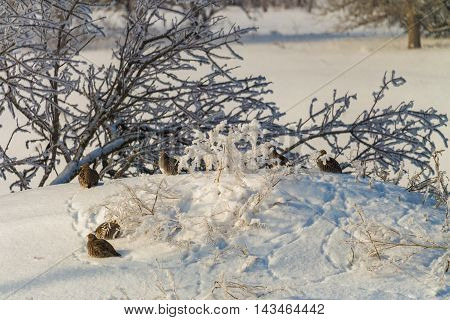 Russian Winter. Wild quail at the January snow in the evening.