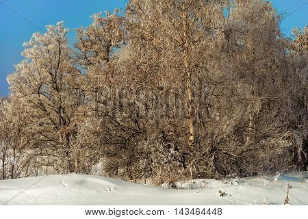 Russian Winter. Trees in white hoarfrost January.