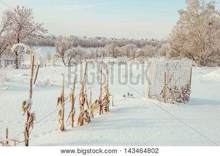 Winter snow-covered garden. Snow-covered bushes of corn in the frost sapling protected from wild rabbits steel mesh.